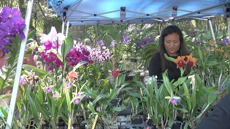 Orchid gardener from Apopka, FL sells some plants that initially came from Asia.