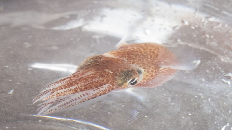 A squid is shown at a lab in Honolulu on June 11, 2021. Dozens of baby squid from Hawaii are in...