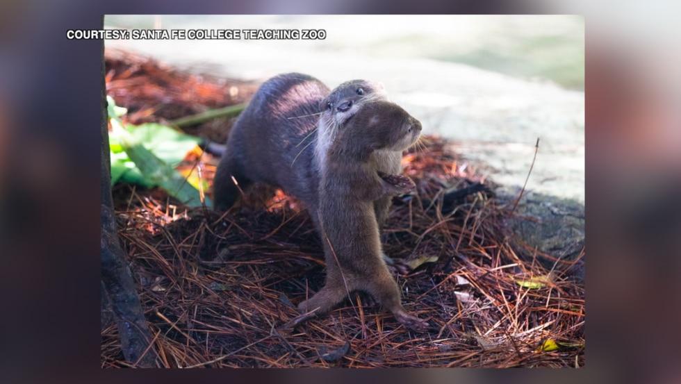 Otter Baby 1