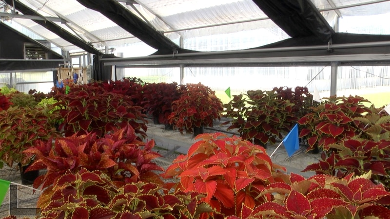 What's Growing On: Coleus plants make great gifts