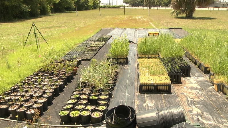 What's Growing On: Group on University of Florida campus working to restore natural vegetation