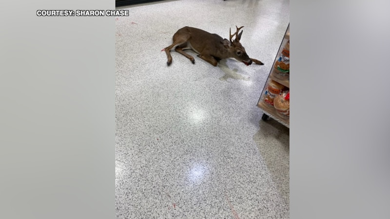 A witness says the deer ran into the store and eventually ran into a cooler and slipped on milk.
