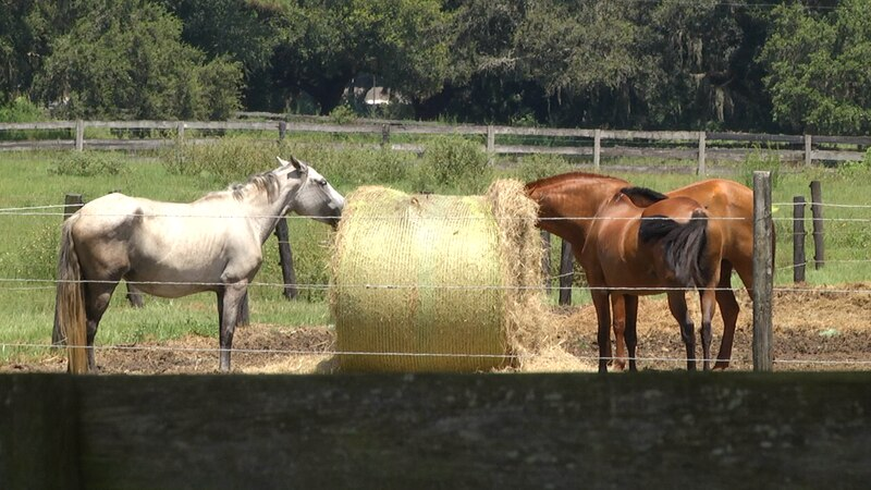 Marchand showed us one case in the horse capital where some horses roam their paddock with no...