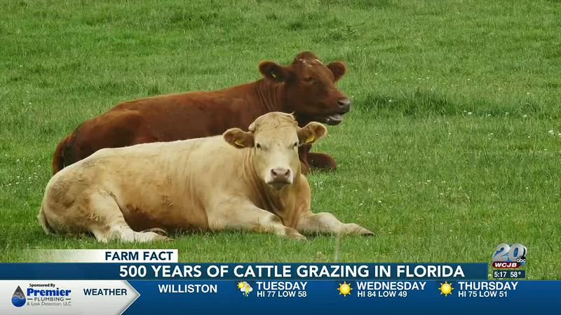 Farm Fact: 500 years of Florida cattle