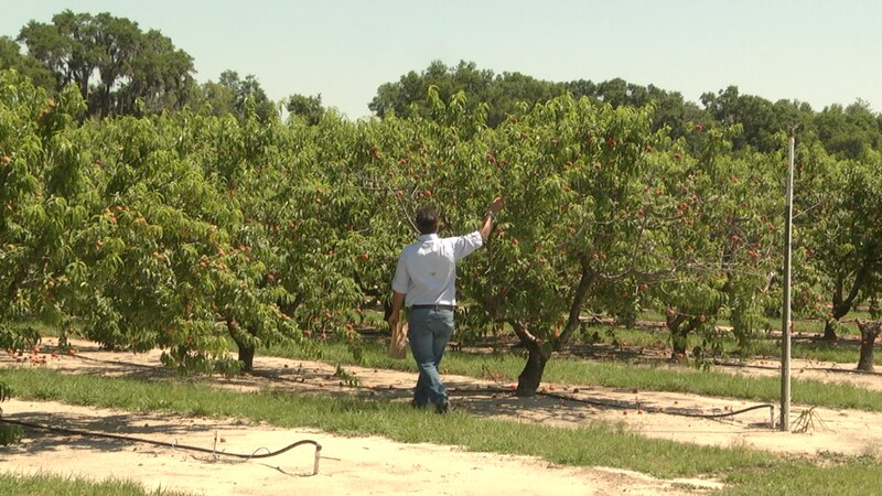 What's Growing On: IFAS experimenting with the delicate rootstocks of peach trees