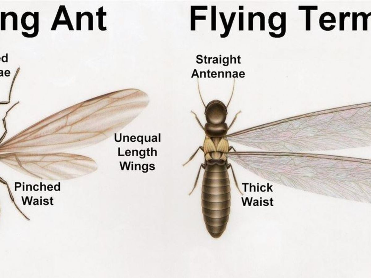 Termites Or Winged Ants How To Tell The Difference