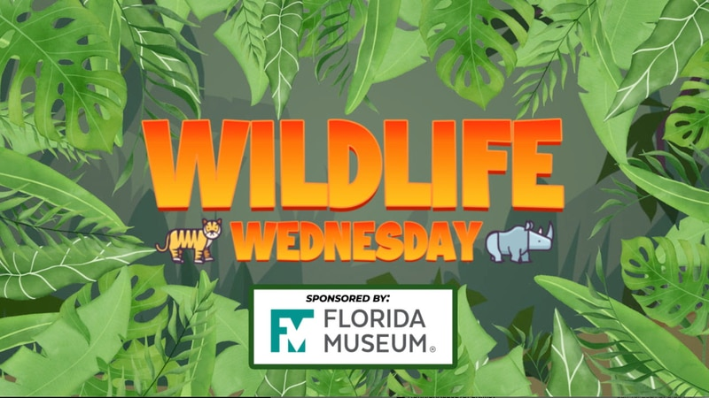 In this week's Wildlife Wednesday, our friends at the Florida Museum tell us about a master of...