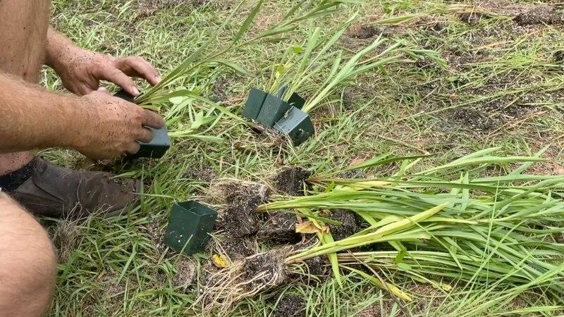 More than 6,000 natural grasses planted at University of Florida teaching lab