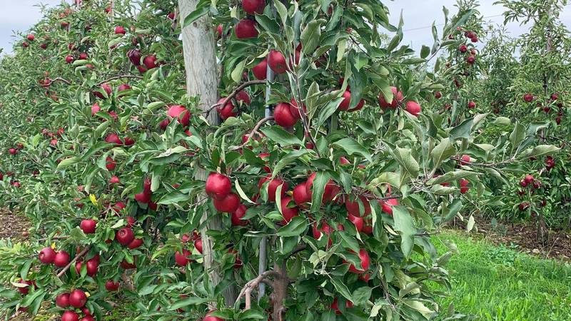 2021 harvest is in full swing: RubyFrost apples are ruby red, ripe and ready to be picked.