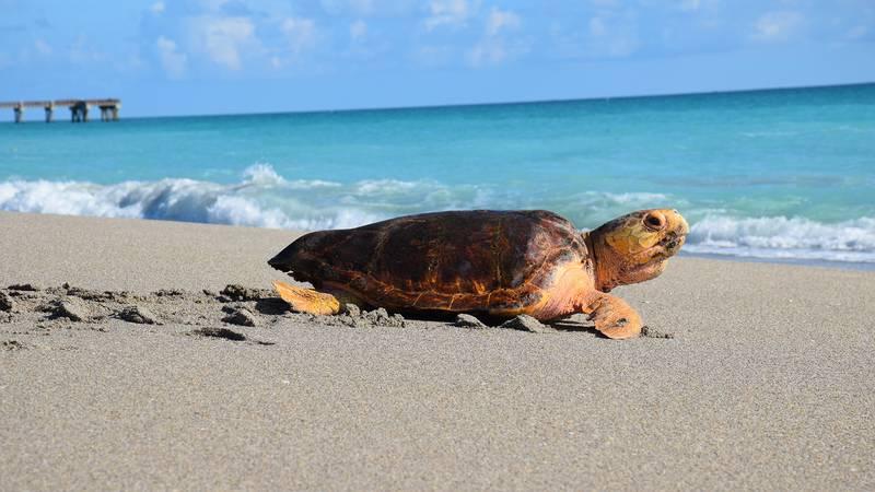 A loggerhead sea turtle rehabilitated and released on Juno Beach, Florida by Loggerhead...