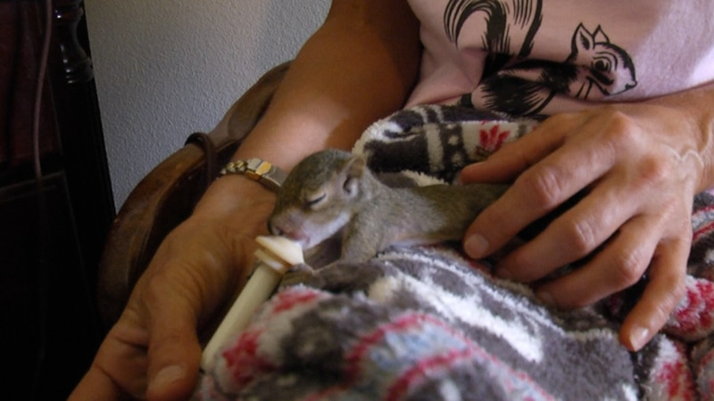 a place where orphaned squirrels, raccoons and possums get rehabilitated and then released into...